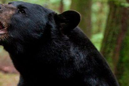 Este oso salvaje corre libremente por las calles de una ciudad rusa causado el pánico