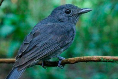 ¿Sabías que los pájaros amazónicos 'vigías' ayudan a sobrevivir a otras especies?