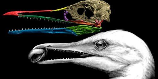 Este fue el primer pico, de un ave en transición de dinosaurio