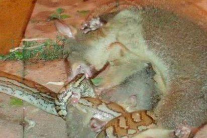 Esta valiente zarigüeya vence a una poderosa pitón para salvar a su cría