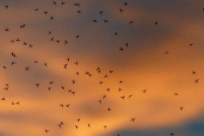 Una plaga bíblica de mosquitos arrasa esta ciudad