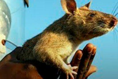Las ratas que salvan vidas en África