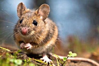 Gran avance contra el Alzhéimer: Los ratones pueden recordar episodios pasados
