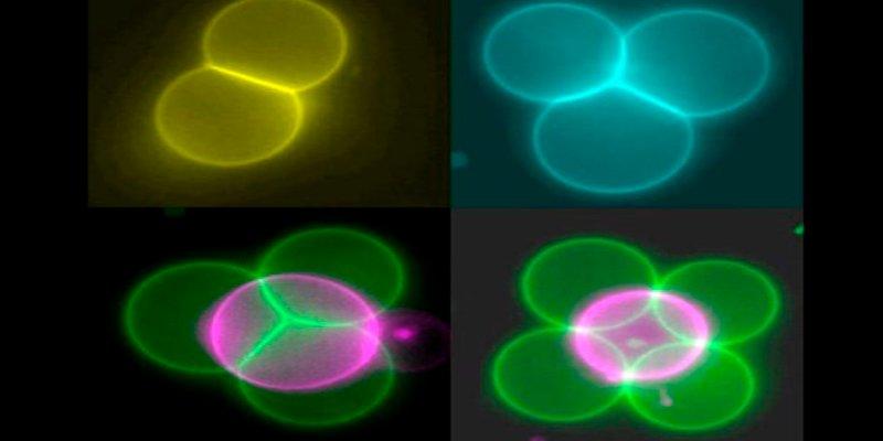 Láseres para conectar, organizar y fusionar células artificiales