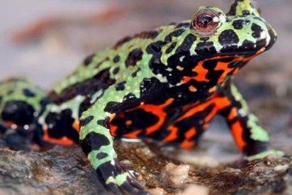 ¿Sabes de dónde proviene el hongo que mata a los anfibios?
