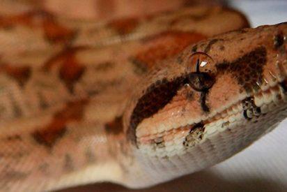 Esta serpiente se cuela en un ventilador y fastidia un aniversario de boda