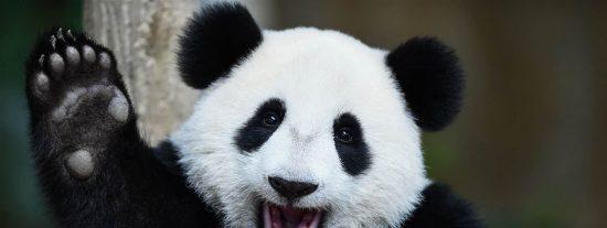 Algo raro está sucediendo con las manchas negras en los ojos de los pandas