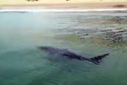 Un enorme tiburón desata el pánico en una playa de Fuengirola