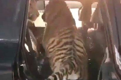 Este hombre se pasea con tres tigres en su camioneta