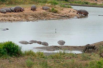 Un grupo de hipopótamos salvan la vida a este ñu atrapado por unos cocodrilos