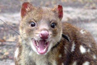 Quol: el animal que olvidó tener miedo a sus depredadores