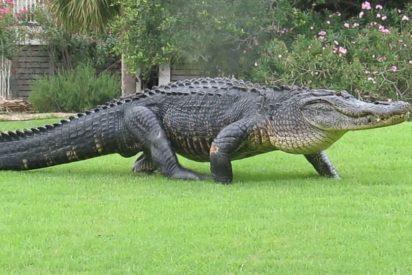 El cocodrilo de verdad acecha al niño mientras juega con uno inflable