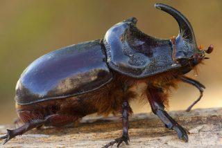 Épica batalla entre dos escarabajos gigantes conquista la Red