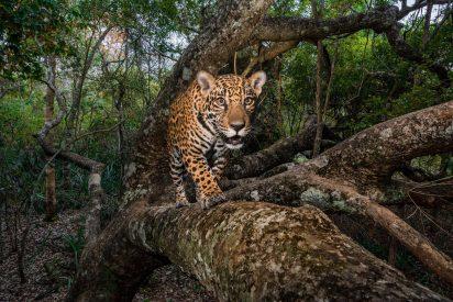 El niño que tiene como amigo a un salvaje jaguar
