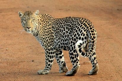 El leopardo intenta ayudar al águila atacada por la serpiente y pasa esto…