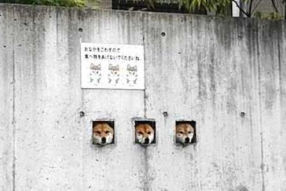Estos tres perros Shiba Inu, que se asoman tras el muro, desatan un boom turístico en Japón