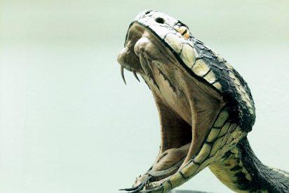 La cobra esconde un secreto evolutivo dentro de su peligroso veneno