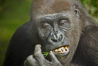 Sexo salvaje: Así se lo montan los gorilas
