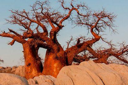 Los baobabs de África se mueren y nadie sabe por qué