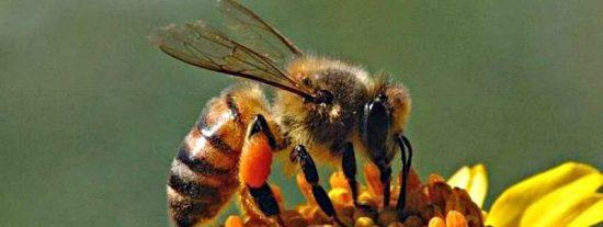 Científicos brasileños logran transformar abejas normales en asesinas