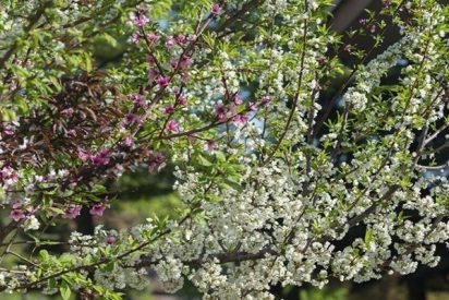 Este curioso árbol produce 40 tipos de frutas