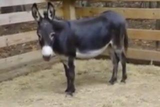 """Jordi Rosiñol Lorenzo: """"El burro despanzurrado"""""""