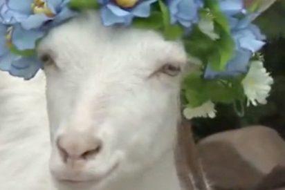 Escogen a esta cabra blanca como oráculo oficial del Mundial de Rusia 2018