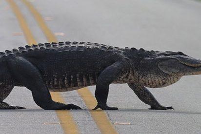Este caimán sin prisas obliga a un avión a detenerse en la pista
