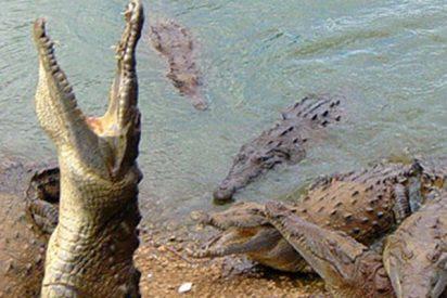 Este caimán de 2 metros escaló una valla para huir de unos cazadores