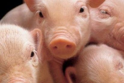 ¿Saltarán estos cerdos a la piscina?