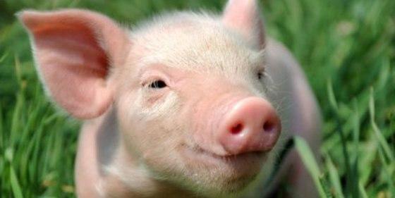 ¡Inmortalidad!: Logran reanimar con éxito cerebros muertos de cerdos