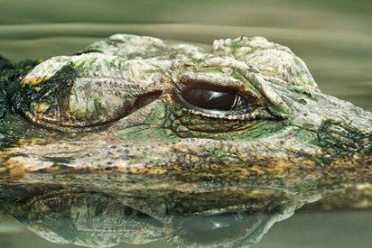 Este cocodrilo se come al perro que lo atormentó durante años