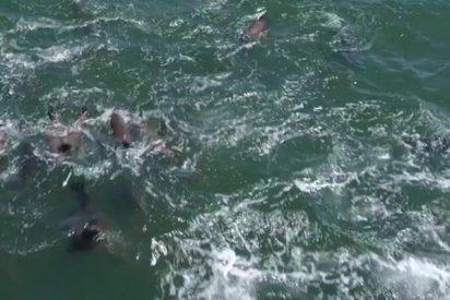 Este dron capta a 1.500 delfines jugando con dos ballenas jorobadas en California