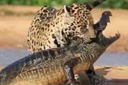 Feroz pelea entre este leopardo y un caimán por la comida