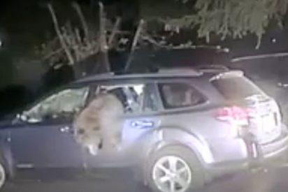Policía rescata a un oso atrapado dentro de un coche en EE.UU.