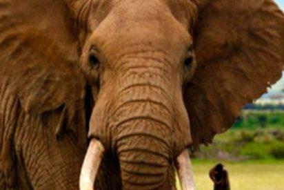 Este elefante mata a un hombre que se acercó al animal para hacerse un selfi