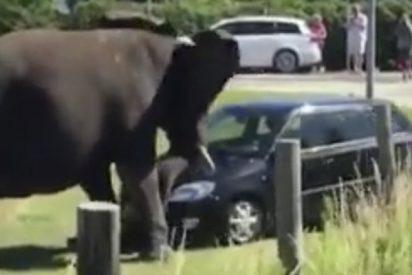 Los elefantes tienen muy mala leche
