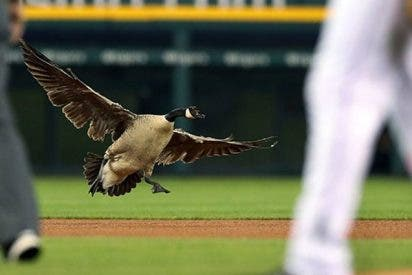 Este ganso desorientado obliga a parar un partido de béisbol