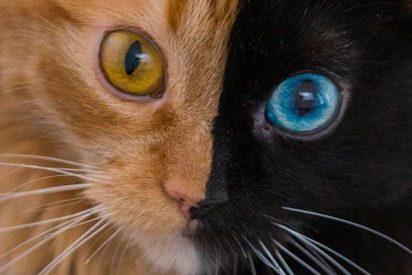 Quimera, la gata de dos caras