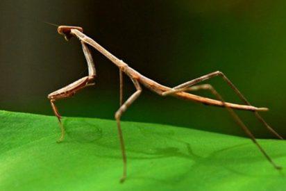 ¿Sabías que el insecto palo es capaz de reproducirse después de muerto?