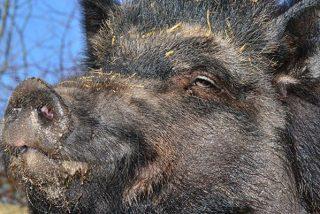 Este jabalí muerto resucita en el maletero del coche de sus cazadores