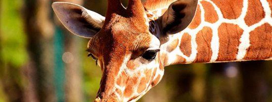 Estas jirafas casi se comen la melena del famoso futbolista brasileño David Luiz