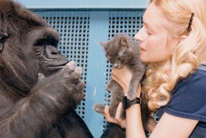 Triste adiós a Koko, la gorila capaz de comunicarse con los humanos