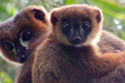 Descubren que el cuidado de sus crías aumenta la testosterona de los padres lémures