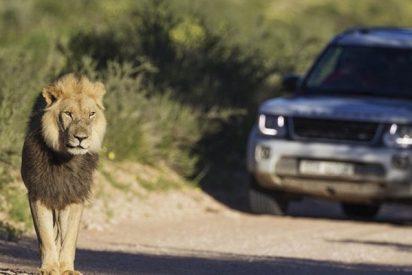Este turista acaricia a un león y se arrepiente al instante
