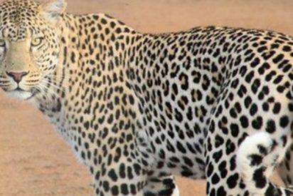 Combate a muerte entre un cachorro de leopardo y un varano