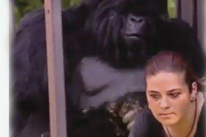 Cuando uno se viste de gorila y se mete en una jaula para hacerse el gracioso, le puede pasar esto...