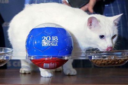 El gato 'oráculo oficial' del Mundial de Rusia tiene claro quién ganará el partido inaugural