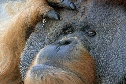 Este orangután ataca a la excavadora ilegal que amenaza su hábitat en Borneo