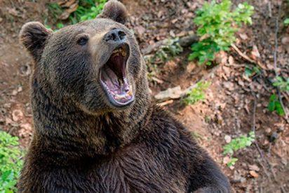 Así persigue la policía con la sirena puesta a este díscolo oso